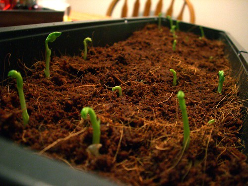 Sprouts - day 6