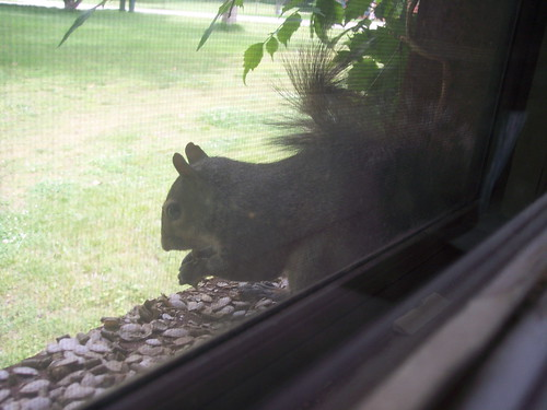 window squirrel 2008 002