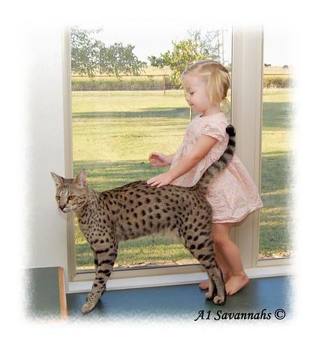 Adopt A Savannah Cat Uk