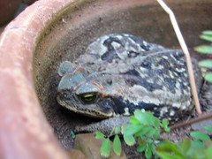 (parttimefarm) Tags: plants nature pot toad chacara echapora