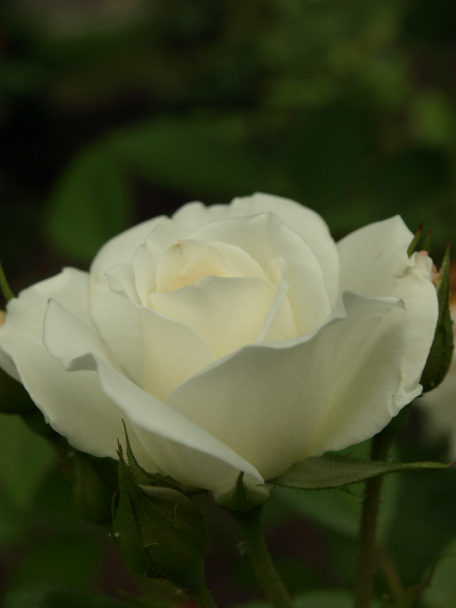 White rose in Kyoto
