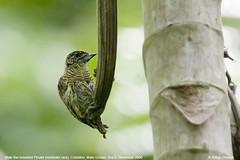 Picumnus aurifrons (arthurgrosset) Tags: fbwnewbird fbwadded picumnusaurifrons picumnusaurifronsaurifrons barbreastedpiculet picapauanodourado