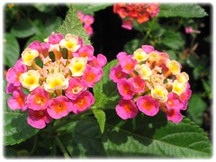 Lantana camara (Largeleaf Lantana, Shrub Verbena, Red/Yellow/Wild Sage)