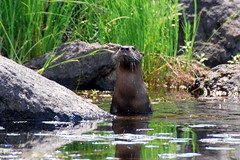 Angry Otter (scottograph) Tags: lake minnesota river woods north superior canoe area waters cherokee wilderness boundary gmt bwca temperance