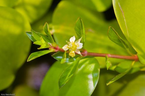 Ludwigia flower