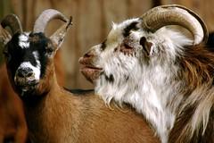 Goats Love