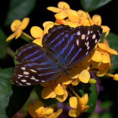 Mexican Blue (Canicuss) Tags: flowers blue green festival butterfly stripes sony peach lepidoptera spotted powellgardens a100 mexicanblue canicuss pgbutterflycontest09 elmmissouri