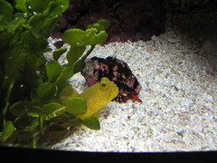 Gulp (shadowfall) Tags: red white fish chicago water yellow aquarium underwater crab shedd hermit gulp