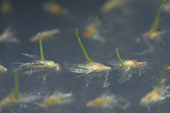 Figure 2 - Rytidosperma laeve (Poaceae) germinating on agar at 20°C.