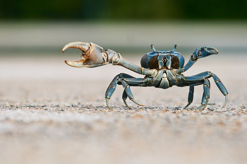 Just one example of a Fiddler Crab