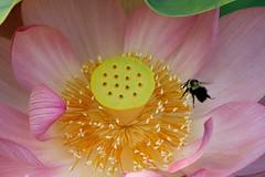 Landing Zone (avirus) Tags: summer flower water garden insect pond lotus bee kenilworthaquaticgardens