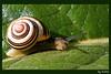 My home is my castle (rokop64) Tags: green nature animals canon tiere natur visualarts snail tokina grün schnecke rokop flickrsbest eos400d anawesomeshot tokina100mmf28atxprod crystalaward ysplix simplysuperb top20greenish