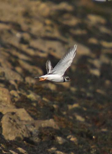 Ringed Plover in flight