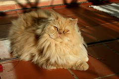 Fluffy takes a picture (Cracas) Tags: portugal cat fur amber persian sheep fluffy ambereyes cracas