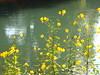 fiori sul Sile
