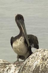 pelican (Nicola Zuliani) Tags: california usa nature animal pelican pacificcoast nizu nicolazuliani nnusa wwwnizuit