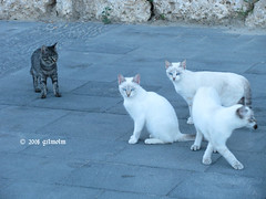 Gatti 3+1 (gilmolm) Tags: animals cat canon eyes occhi gatto animali lazio scauri minturno abigfave canonpowershotsx110is