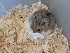 Chupa making her bed (LawDIv) Tags: hamsters