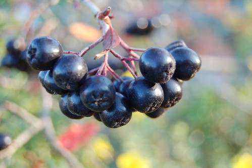 Arronia berries