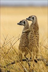 You've Got A Friend (AnyMotion) Tags: africa travel nature animal animals tiere meerkat reisen wildlife ngc npc 500v50f afrika botswana 1000v100f 2008 rs soe animalplanet suricatasuricatta erdmännchen naturesfinest blueribbonwinner otw makgadikgadi anymotion 200faves specanimal mywinners abigfave theworldisbeautiful shieldofexcellence anawesomeshot aplusphoto platinumheartaward betterthangood theperfectphotographer goldwildlife onephotoweeklycontest goldstaraward natureselegantshots alemdagqualityonlyclub damniwishidtakenthat 100commentgroup vosplusbellesphotos phvalue flickrsfinest100faves thenaturesgreenpeace mothernaturesgreenearth bestofblinkwinners frontpagebestofblinkwinners