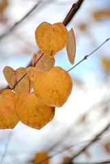 will snow after Fall (SusanCK) Tags: color dof fallcolor backgroud susancksphoto leavecolor
