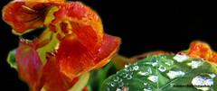 perles de rose (fotomarchalain) Tags: diamants phmres