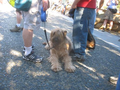Canis lupus familiaris 'Briard'