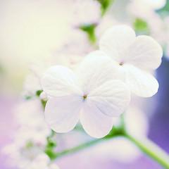 Viburnum (AlexEdg) Tags: summer flower macro dof bokeh 2008 remake viburnum postprocessing snowballtree guelderrose alexedg alledges