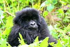 very fluffy baby gorilla (xtph) Tags: pictures africa travel black travelling animals photography amazing flickr gorilla wildlife awesome picture fluffy adventure journey uganda christoph silverback mountaingorilla centralafrica virunga ruanda beringei gorillaberingei gorillaberingeiberingei virungavolcanoes christophvandewiele vandewiele virungavolcanicmountains robertvonberinge xtph