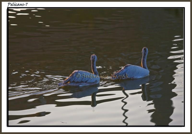 Pelicans-7