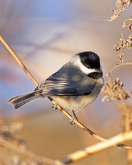 Carolina Chickadee (Poecile carolinensis) (tonyadcockphotos) Tags: bird nature birds river searchthebest wildlife chickadee birdwatching avian carolinachickadee naturewalk birdwatcher poecilecarolinensis naturesfinest blueribbonwinner riverwalktrail supershot sundaymorningwalk specanimal canonef40056l golddragon danriver danvilleva mywinners vawildlife platinumphoto goldwildlife goldstaraward