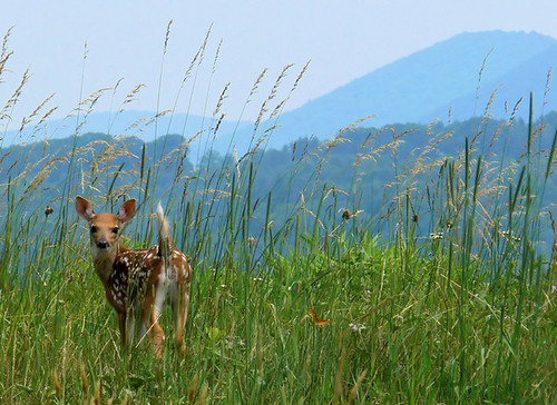 Blue Ridge Bambi