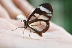 glasswing (padraic7) Tags: butterfly insect costarica hand mariposa glasswing