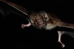Desmodus rotundus (Ilan Ejzykowicz) Tags: phyllostomidae morcegovampiro vampirebat chiroptera aldeiavelha silvajardim casimirodeabreu rppnbomretiro commonvampirebat upírobecný gemeinervampir vampirocomún vampirodeazara vampirecommun vampire hématophage vampirocomune ערפדמצוי didysisvampyras rőtvérszopódenevér quimichpatlāni gewonevampier ナミチスイコウモリ wampirzwyczajny wampir zwyczajny wiruchu обыкновенныйвампир вампир isoverenimijävampyyri isoverenimijä vampyyri egentlig vampyr dơiquỷthôngthường 吸血蝠 vampires upíři vampirfledermäuse wampiry vampyrflaggermus liliecii vampiri вампировые verivampyyrit bộdơi vlermuis yarasalar рукакрылыя letouni flagermus fledertiere νυχτερίδα murciélago خفاش chiroptères 簷老鼠 עטלפים leðurblaka pipistrelli chirotteri šikšnosparniai वटवाघूळ vleermuizen flaggermus kveldskingler skinnvengjer nietoperze rękoskrzydłe рукокрылые netopiere fladdermöss ค้างคาว