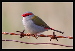 Red-browed Finch, Cooleman Ridge NR, 29.12.08 (Callocephalon Photography) Tags: red bird beautiful grey picture rusty australia finch canberra redbrowedfinch neochmiatemporalis sigma50500mmf463 longawaited redbrowed colorphotoaward canoneos40d vosplusbellesphotos coolemanridgenr