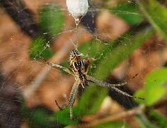The Netizen (asis k. chatt) Tags: nature spider naturephotography naturalpatterns naturalharmony naturewatcher ~nature naturallymagnificient