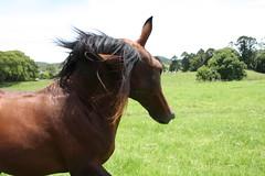 stallion5 (stuart.shone) Tags: galope