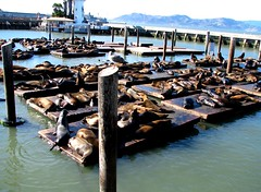 San Francisco, California - USA (Mic V.) Tags: california ca sea usa nature animal fauna america pier us san francisco united lion seal seals states 39 colony unis phoque californie otarie colonie californianus amrique etats amerique tats zalophus