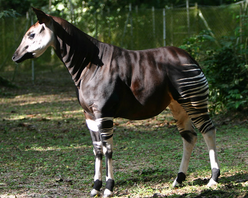 okapi_in Epulu enclosure