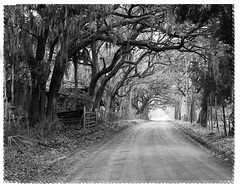 A Lowcountry Oak Tunnel in B&W (Sco C. Hansen) Tags: trees bw sc blackwhite oak tunnel spanishmoss dirtroad hansen beaufort spookey fense lowcountry d300 beaufortcounty beaufortsc beaufortphotography