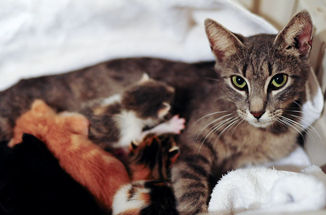 cute rescue cat mama and her baby kittens nursing