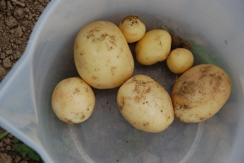 first new spuds - swift