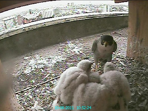 Day 23, Dad looks a bit daunted by its chicks