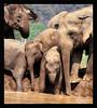 ASIAN ELEPHANT ENF