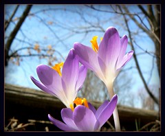 Trio of Crocus (Canicuss) Tags: flowers blue trees sky macro spring purple branches crocus trio canicuss