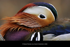 Eye Candy (Edgar Thissen) Tags: bird nature birds zoo duck rotterdam blijdorp bravo colours searchthebest mandarin mandarinduck waterfowl mw naturesfinest parkstock edgarthissen specanimal animalkingdomelite 33354