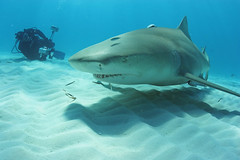 Lemon Smile (schleprockfisher) Tags: ocean underwater diving sharks predators lemonshark fiercecreatures