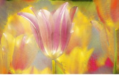 Tulip #1 .jpg (YOSEMITEDONN) Tags: flowers color see tulips it springtime millefiori i life~as