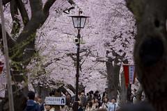 2008高遠城址公園桜まつり 3
