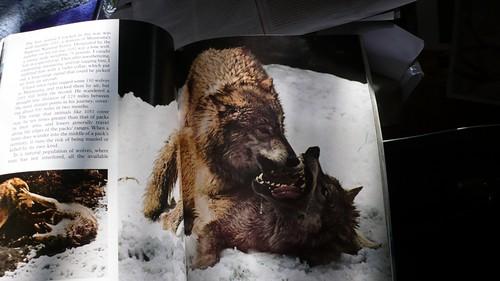 wolves kissing